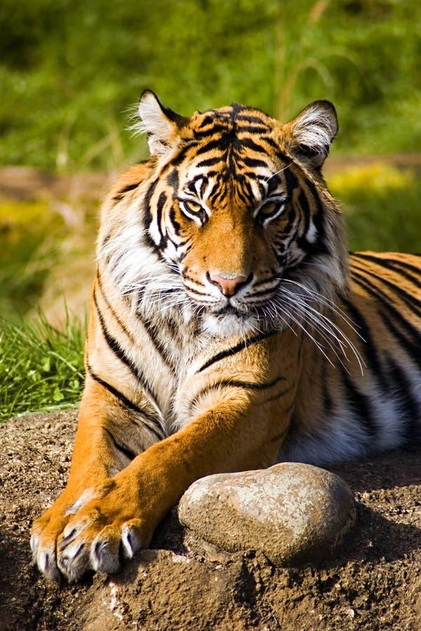 Sumatran Tiger. Lounging in the warm sun royalty free stock photo