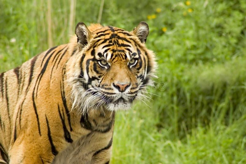 Sumatran Tiger. Lounging on a grassy hillside stock photos