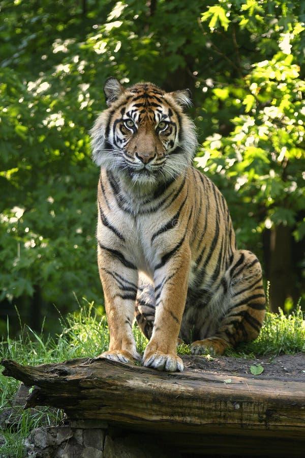 Download Sumatran Tiger stock image. Image of feline, panthera - 5569535