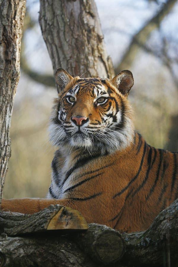 Sumatran Tiger. Closed up in detail royalty free stock photography