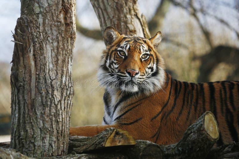 Sumatran Tiger. Closed up in detail royalty free stock images
