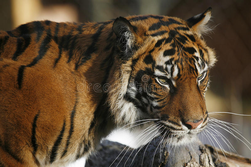Sumatran Tiger. Closed up in detail royalty free stock photos