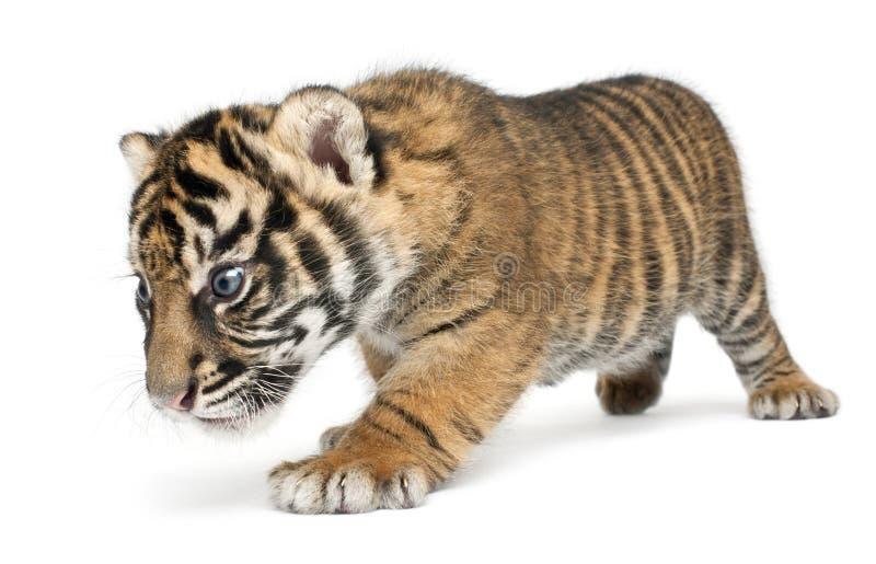 Sumatran Tiger cub, Panthera tigris sumatrae, 3 weeks old, walking in front of white background stock images