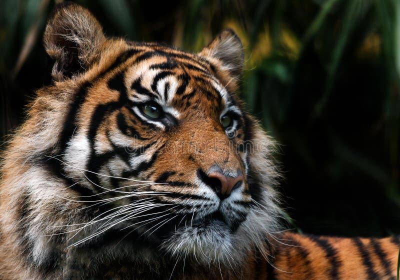 Sumatran tiger royalty free stock photos