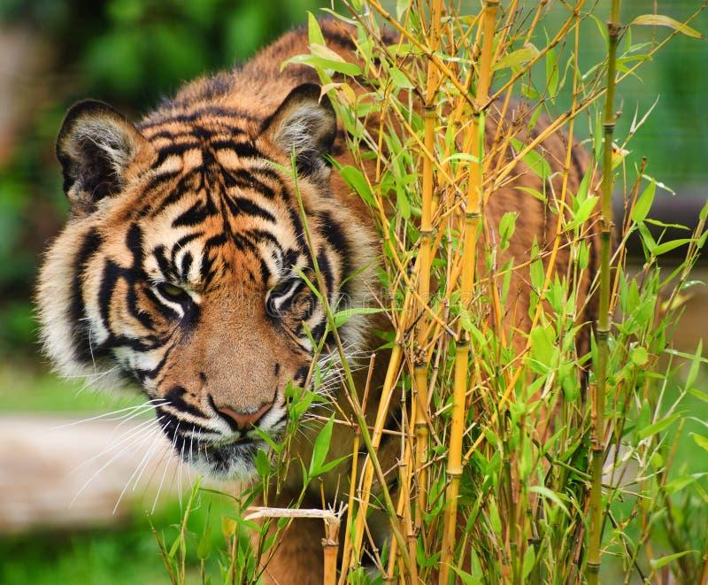 Sumatran Tiger Panthera Tigris Sumatrae royalty free stock photos