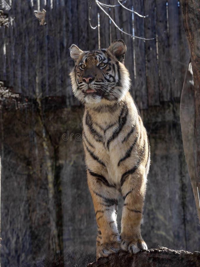 Sumatran Tiger, Panthera tigris sumatrae, closely watches the surroundings. The Sumatran Tiger, Panthera tigris sumatrae, closely watches the surroundings royalty free stock photo