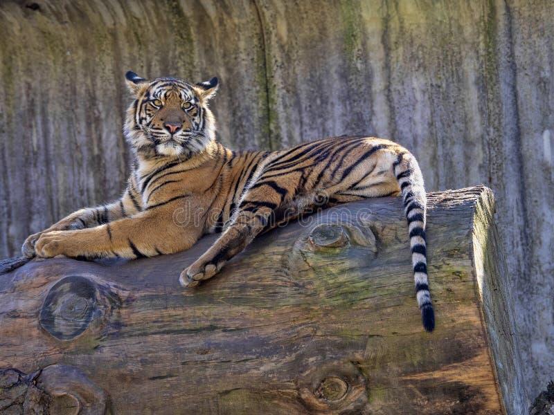 Sumatran Tiger, Panthera tigris sumatrae, closely watches the surroundings. The Sumatran Tiger, Panthera tigris sumatrae, closely watches the surroundings royalty free stock photography