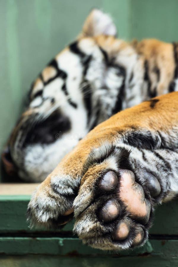 Sumatran tiger (Panthera tigris sumatrae) royalty free stock photo