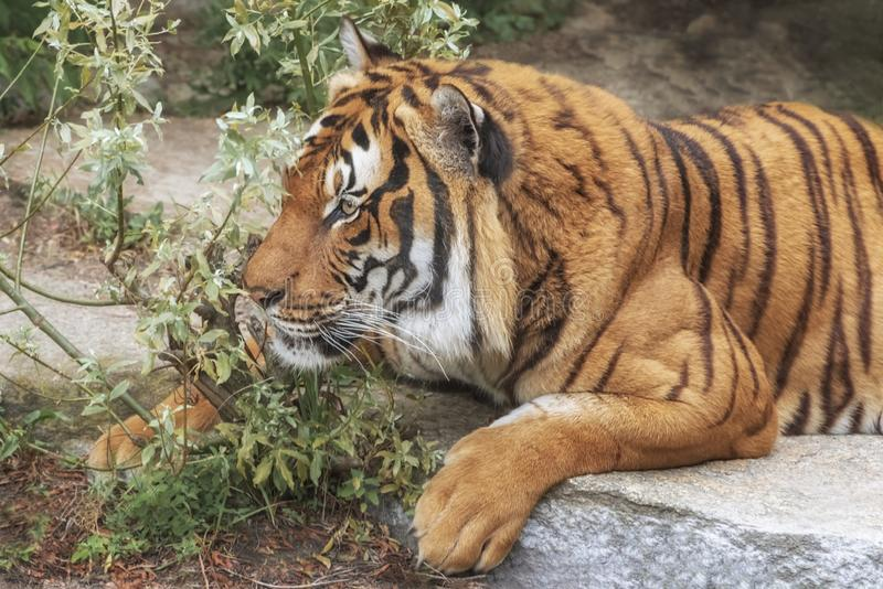 Sumatran Tiger, Panthera tigris sumatrae, `small` big cat is a loner. Origin is Indonesian island of Sumatra stock image