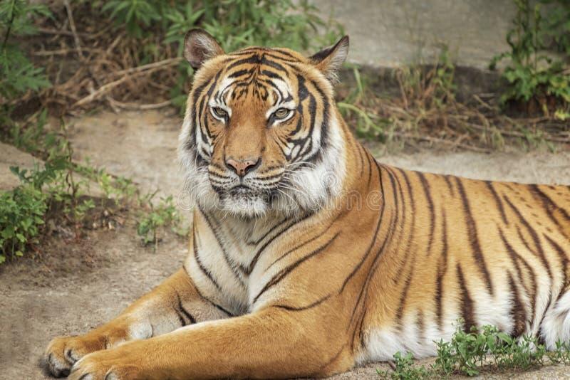Sumatran Tiger, Panthera tigris sumatrae, `small` big cats. Origin is Indonesian island of Sumatra. Portrait. Sumatran Tiger, Panthera tigris sumatrae, `small` stock photos
