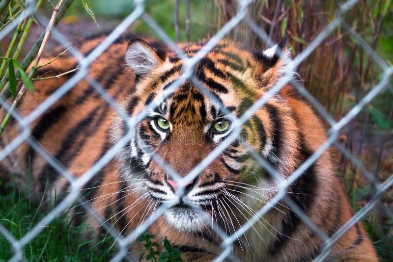 Sumatran tiger Panthera tigris sumatrae stock photo