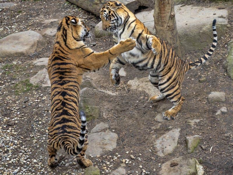Sumatran Tiger, Panthera tigris sumatrae, young females practice fights. One Sumatran Tiger, Panthera tigris sumatrae, young females practice fights stock image