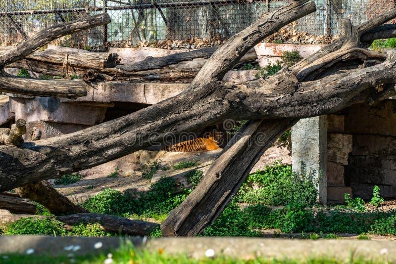Sumatran tiger Panthera tigris sumatrae in zoo Barcelona stock photo