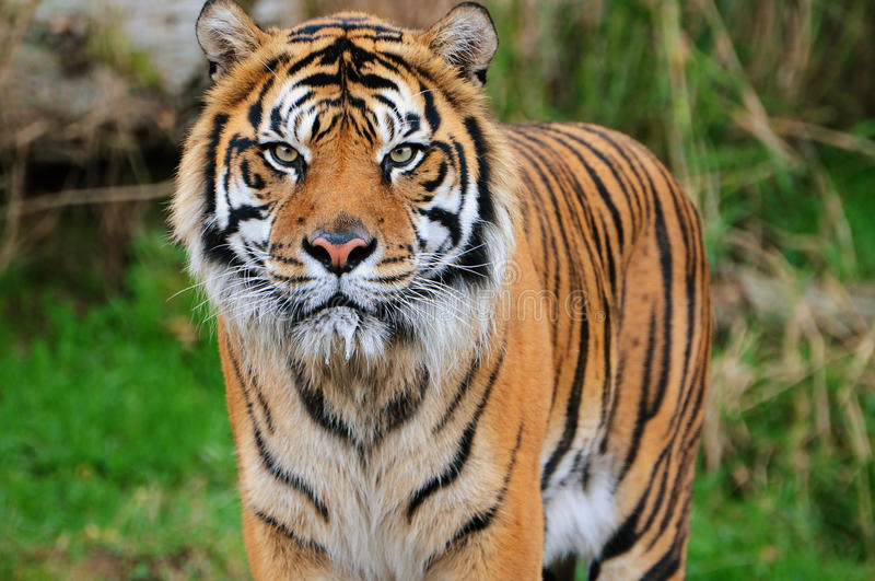 Sumatran tiger portrait. Face to face with an adult Sumatran tiger stock images