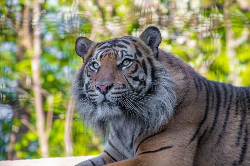 Sumatran Tiger resting and looking around royalty free stock images