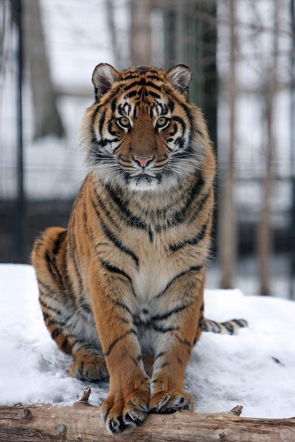Sumatran tiger in snow stock photography