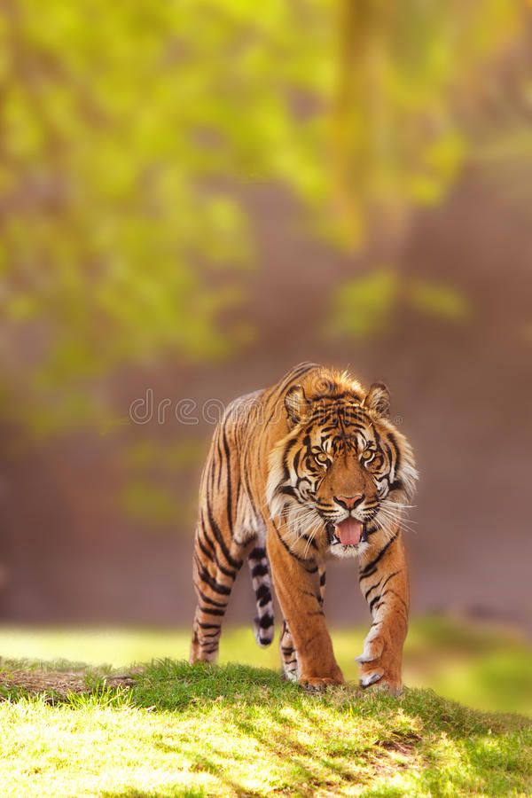 Sumatran Tiger Walking Forward royalty-vrije stock foto's