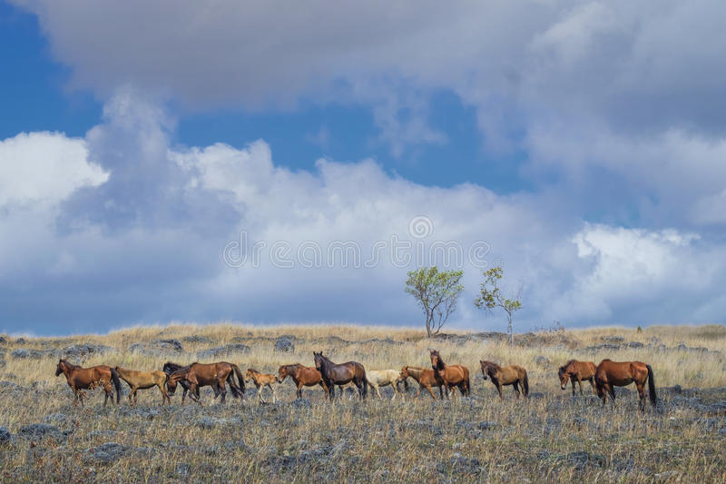 Sumba Horses, Indonesia stock photography