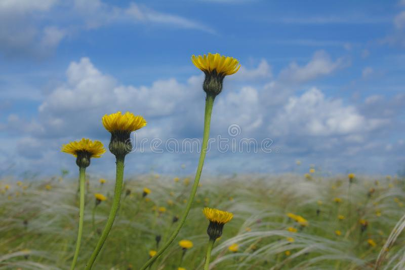 Summer day on the field with yellow flowers and wild feather grass stock photo