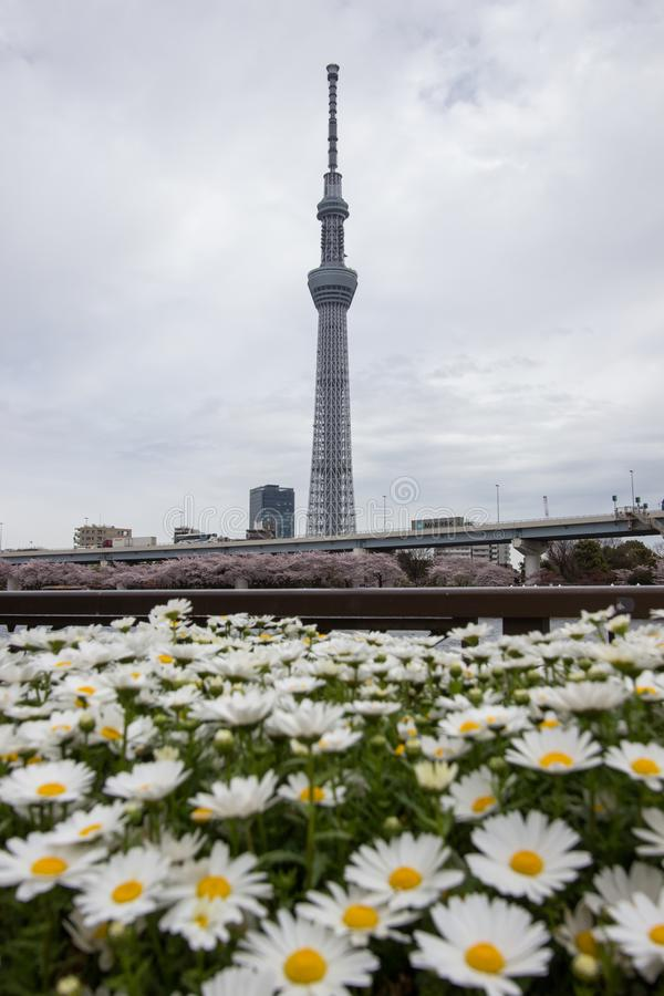 Sumida Park Sakura-matsuri Festival,Taito-ku,Tokyo,Japan on Apr7,2017: Tokyo Skytree with daisy flowers in the foreground stock images