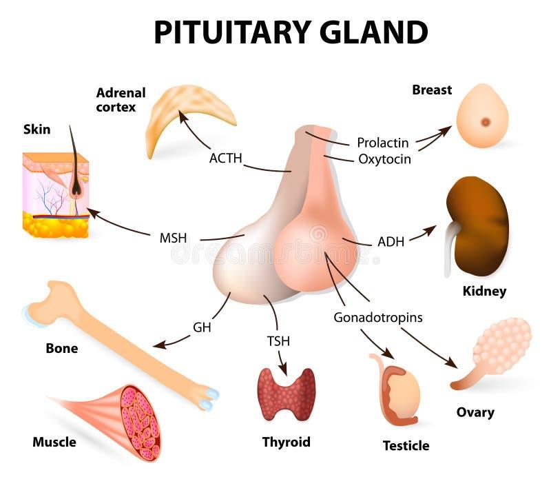 Summariska hormoner som avsöndras från hypofyskörteln stock illustrationer
