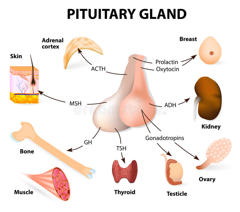Summary hormones secreted from the pituitary gland. Pituitary hormone functions. The two lobes, anterior and posterior, function as independent glands stock illustration