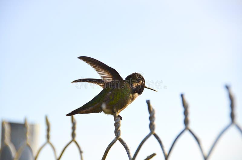 Summenvogel auf Zaun lizenzfreie stockbilder