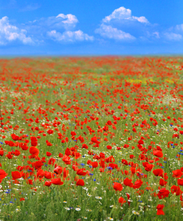 Summer. Red poppies flowering in summer field under blue sky royalty free stock photos