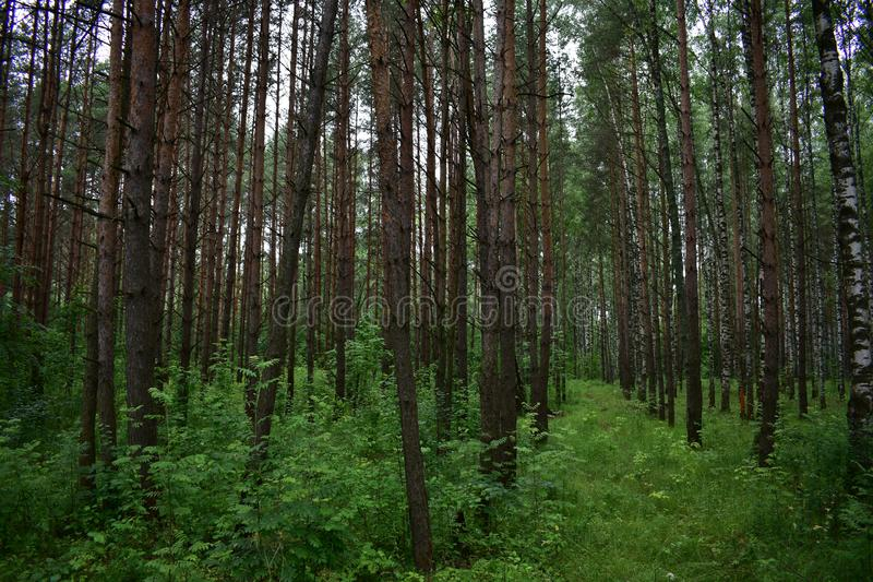 In summer, among the abundant greenery of pine trees, beautiful glimpse of white birch trunks. Grove with young trees stock photo