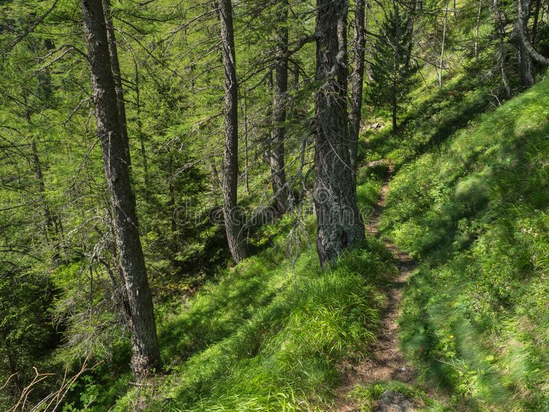 Summer Alpine forest with old larch trees and trail path. Val Sissone, Italy royalty free stock images