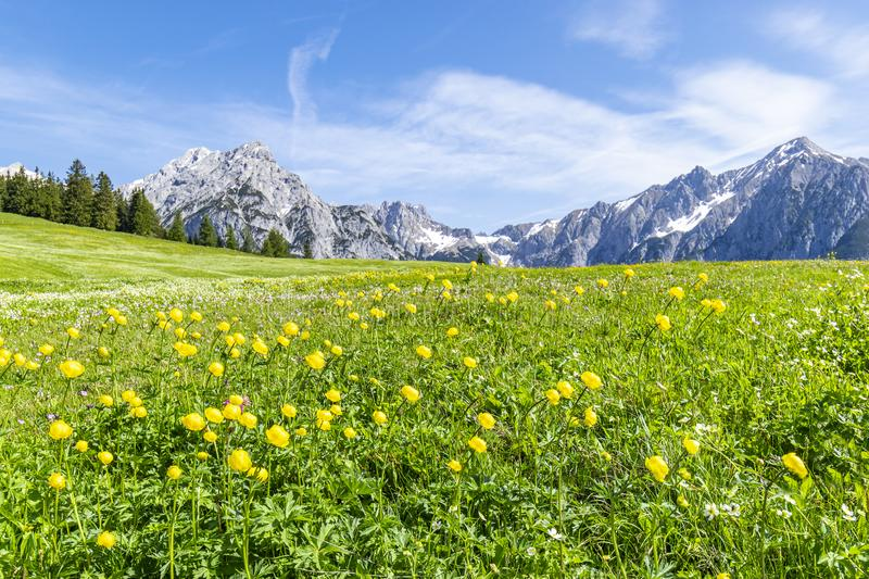 Summer alps landscape with flower meadows and mountain range in background. Photo taked near Walderalm, Austria, Gnadenwald, Tyrol royalty free stock image