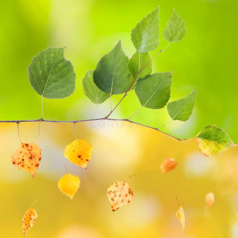 Summer and Autumn. Branch of birch, from summer to autumn (concept royalty free stock image