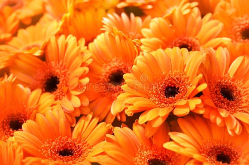 Summer/autumn blossoming gerbera flowers orange background royalty free stock photos