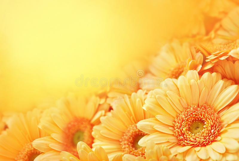 Summer/autumn blossoming gerbera flowers on orange background. Bright floral card, selective focus royalty free stock images