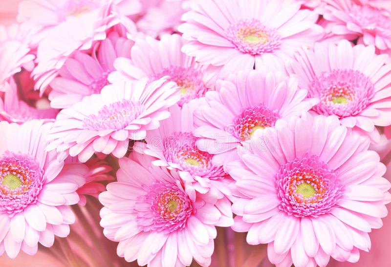 Summer/autumn blossoming pink gerbera flowers. Summer/autumn blossoming gerbera flowers on pink background, bright floral card, selective focus stock photo
