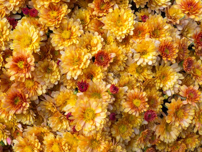 Summer autumn blossoming yellow and orange chrysanthemum flowers background, fall floral card. Concepts: background royalty free stock photography