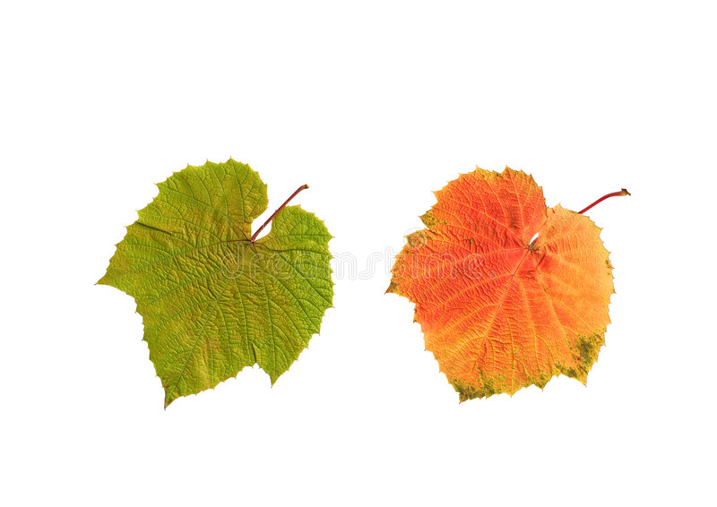 Download Summer And Autumn Grape Leaves Stock Photos - Image: 7602003