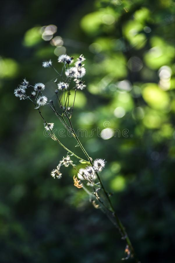 Summer and autumn white little wildflowers blooming in forest. Summer and autumn white little wildflowers blooming in forest stock photo