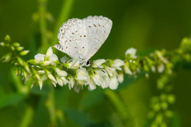 Holarctic Azure Butterfly - Celastrina species. An unknown species of Azure Butterfly collecting nectar from a white flower. Tommy Thompson Park, Toronto stock photo