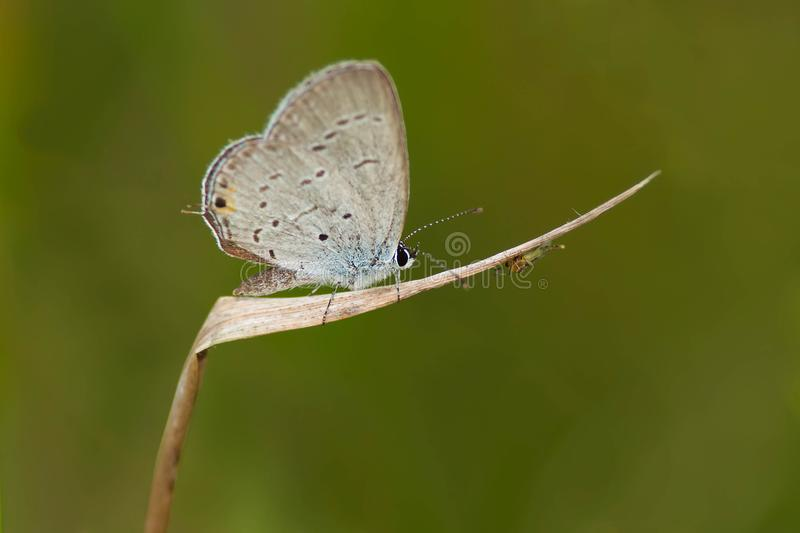 Eastern Tailed Blue Butterfly - Cupido comyntas. Eastern Tailed Blue Butterfly perched on a dead blade of grass. Tommy Thompson Park, Toronto, Ontario, Canada stock image