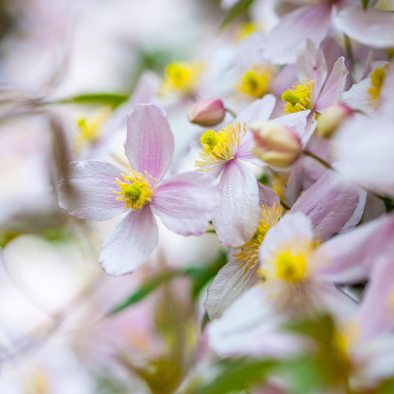 Summer background with beautiful pink clematis flowers with bokeh background. Selective focus, shallow DOF. Blossom of clematis plant with beautiful pink royalty free stock photos