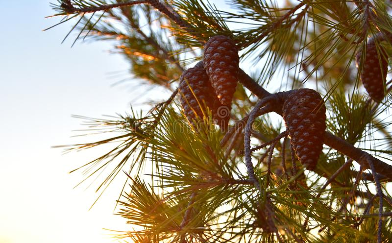 Summer Background Pine Tree Cones stock photography