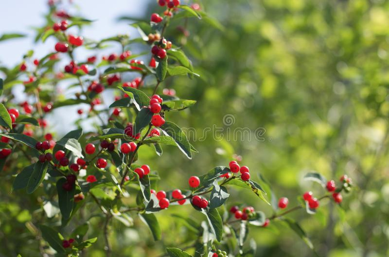 Summer background with bright red ripe berries honeysuckle stock photos