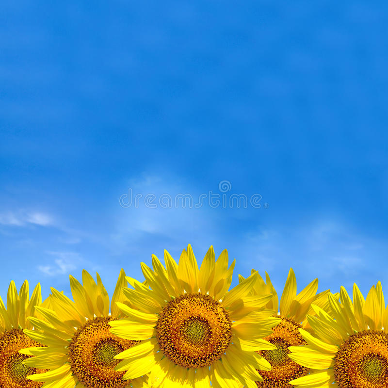 Summer background, bright yellow sunflower over blue sky.  royalty free stock images