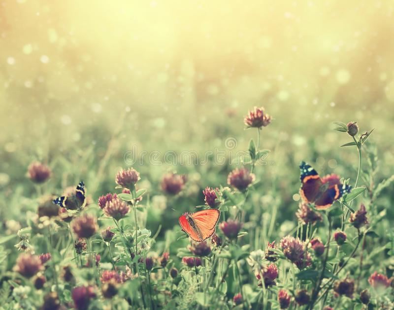 Summer landscape with blooming clover at sunset. stock photography