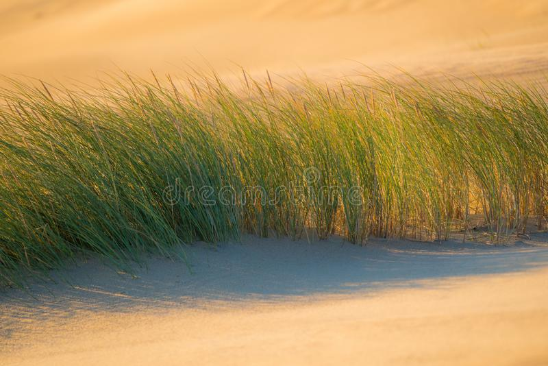 Dune plants. Summer background of dune plants royalty free stock images