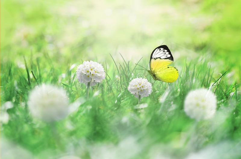 Summer background. Green grass, white flower and butterfly on the meadow.  stock images