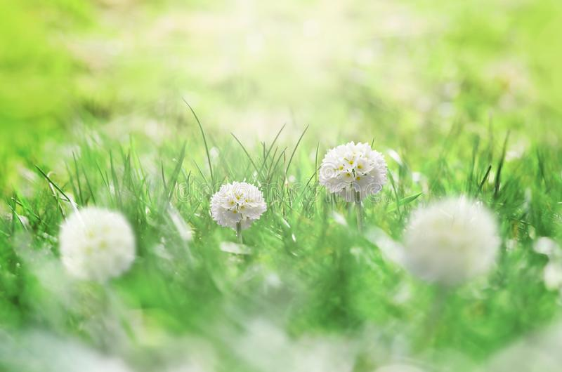 Summer background. Green grass and white flower on the meadow.  stock image