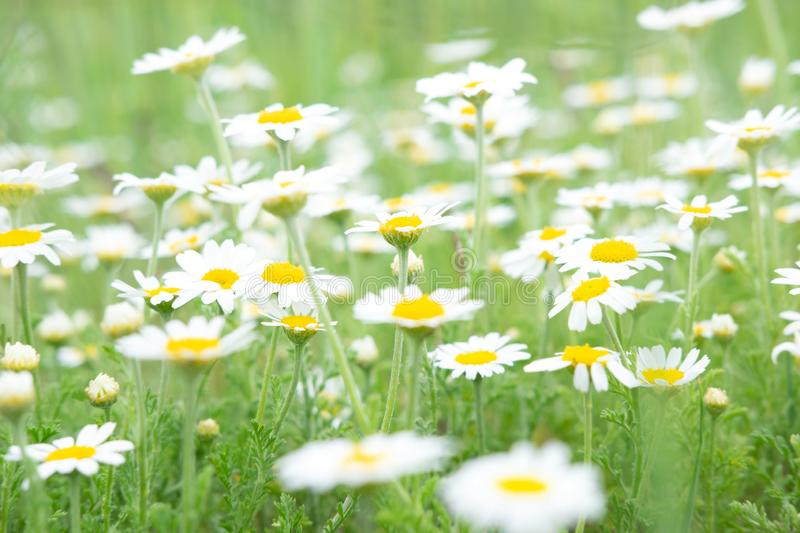 Summer background for greeting card with daisies. Daisies on the field with green grass. Healing herbs stock photography