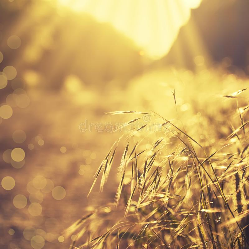 Summer background, landscape at sunset, grass in backlight, blurred image with the effect of motion, shallow depth of field stock image